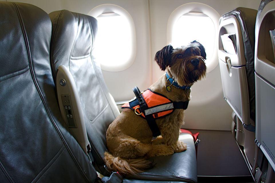 Las aerolíneas de EEUU ponen límite a la presencia de animales de compañía en aviones   Noticias de La Chispa   Revista de turismo Preferente.com